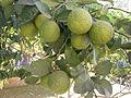 Mandarins in Abu Simbel.jpg