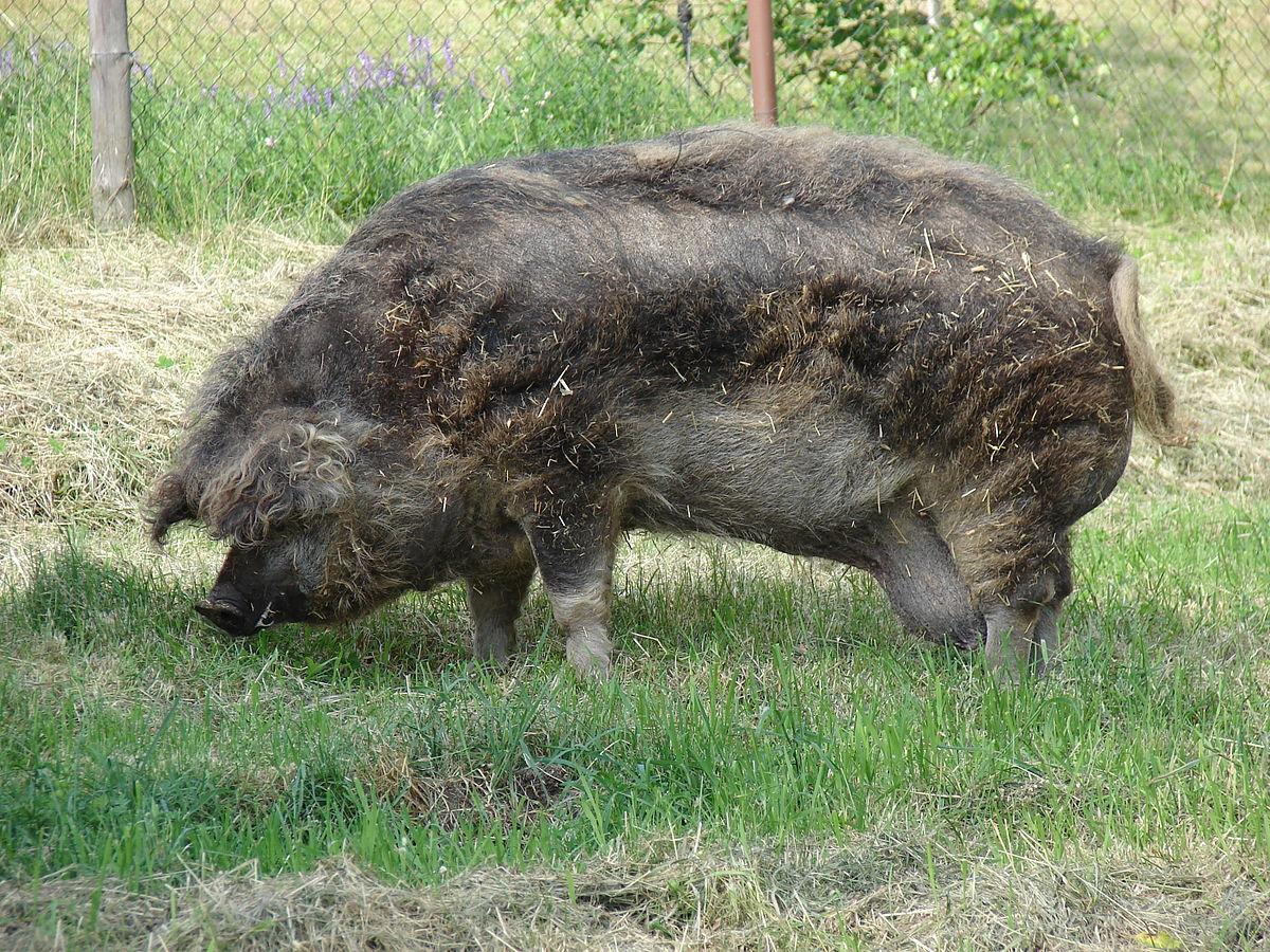 Porc laineux wiktionnaire - Cuisiner du sanglier au four ...