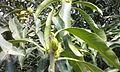 Mango-Flowering5.jpg