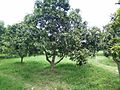 Mango orchard in Lucknow.jpg