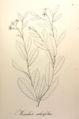 Manihot salicifolia Pohl10.jpg