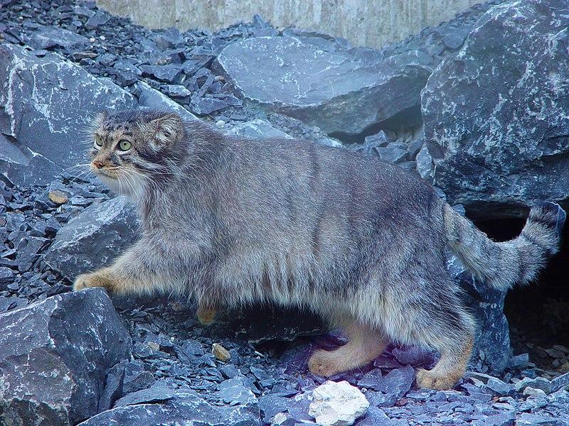 Un gatto di Pallas allo zoo di Zurigo