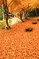 Maple leaves carpet - panoramio.jpg
