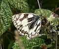 Marbled White. Melanargia galathea (39763192572).jpg