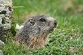Marmota marmota sp. 01.jpg