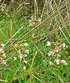 Marsh Helleborine, Harlech dunes - geograph.org.uk - 1408773.jpg