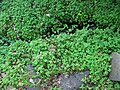 Marsilea villosa (5187616467).jpg