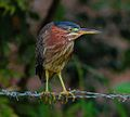 Martinete GreenHeron Northeast Ecological Corridor CEN.jpg