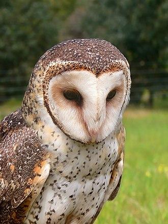 Australian masked owl - Image: Masked owl mask 4441