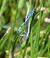Mating Azure Bluets - Flickr - gailhampshire.jpg