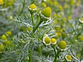 Matricaria matricarioides flowering head (3622700924).jpg