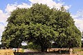 Matrimonial Oak San Saba County Texas.jpg
