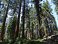McKinley Grove of Giant Sequoias 02.jpg
