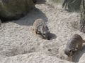 Meerkats Digging 1 Zoo May 2005.JPG