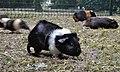 Meerschweinchen im wildpark.jpg