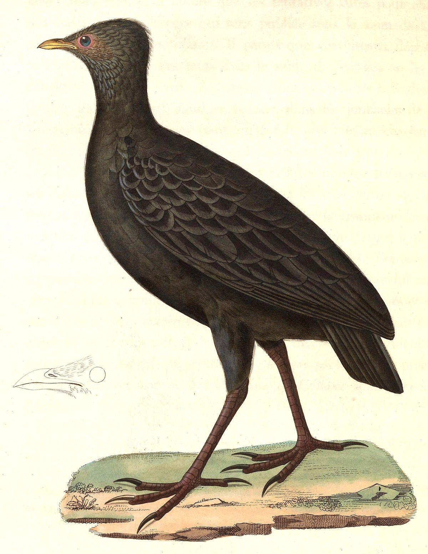 Dusky Megapode Wikipedia
