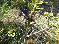 Melaleuca depressa (fruits 2).JPG