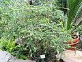 Melaleuca elliptica - Palmengarten Frankfurt - DSC01713.JPG