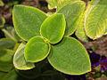 Melastomataceae - Tibouchina heteromalla-2.JPG