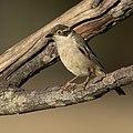 Melithreptus brevirostris - Glen Alice.jpg