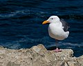 Mendocino Headlands State Park - Mollerus 02.jpg