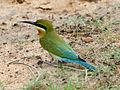 Merops philippinus Yala.jpg