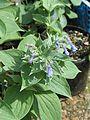Mertensia sibirica - Flickr - peganum.jpg