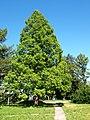 Metasequoia glyptostroboides 03.jpg