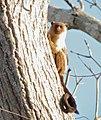 Mico melanurus Black-tailed marmoset.jpg