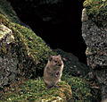 Microtus miurus-GrosPlan.jpg
