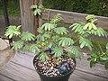 Mimosa-tenuiflora-bush.jpg