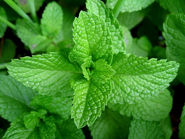 peppermint for memory