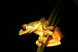 Misfit leaf frog.jpg