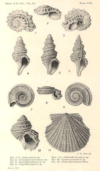 Joyce Allan - New Zealand Mollusca by Joyce K. Allan