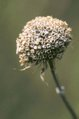 Monarda fistulosa seed head.jpg