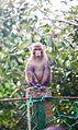 Monkey in Sundarbans.jpg