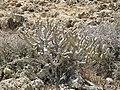 Montana Colorada - plant - Fuerteventura - 20.jpg