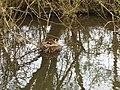 Moorhen on nest, Stover lake - geograph.org.uk - 408986.jpg