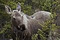 Moose (14046321670).jpg