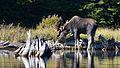 Moose (Alces alces), Male - Algonquin Provincial Park, Ontario.jpg