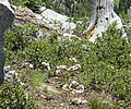 More flowers on the PCT - panoramio.jpg