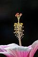 Morning Hibiscus (2630280324).jpg