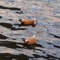 Moscow, ruddy shelducks on Vodootvodny Canal 02.jpg