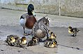 Mother & Father Duck with there Ducklings (15583673417).jpg