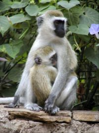 Mother and baby monkey in Kenya.jpg