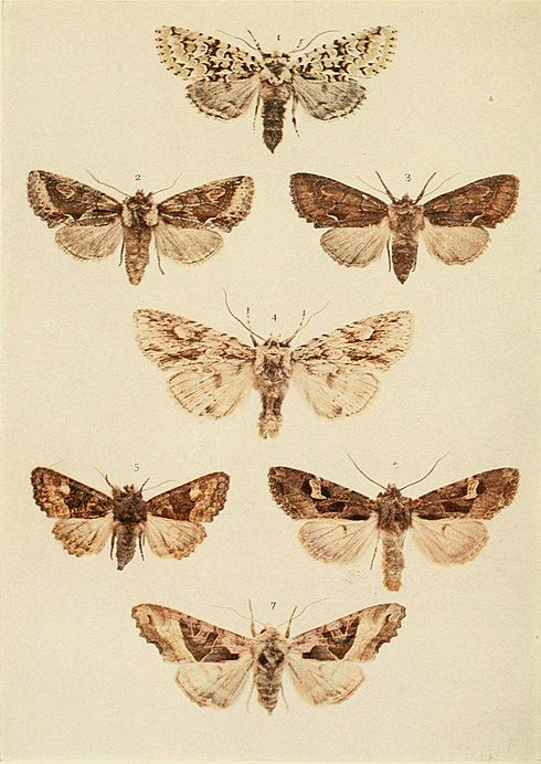 Moths of the British Isles Plate141.jpg