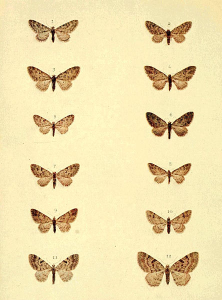 Tập tin:Moths of the British Isles Series2 Plate099.jpg