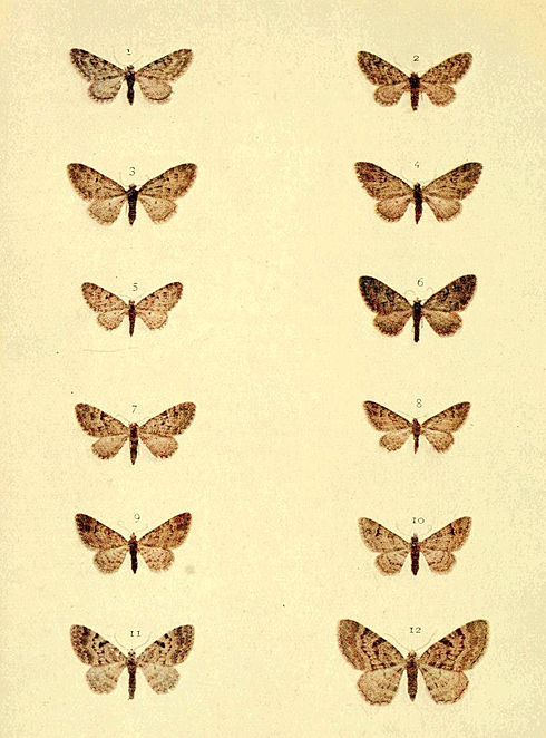 Moths of the British Isles Series2 Plate099.jpg