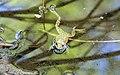 Mountain yellow-legged frog (27862317424).jpg