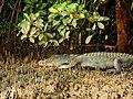 Mugger Crocodile Crocodylus palustris Zuari Goa by Dr. Raju Kasambe DSCN0812 (5).jpg